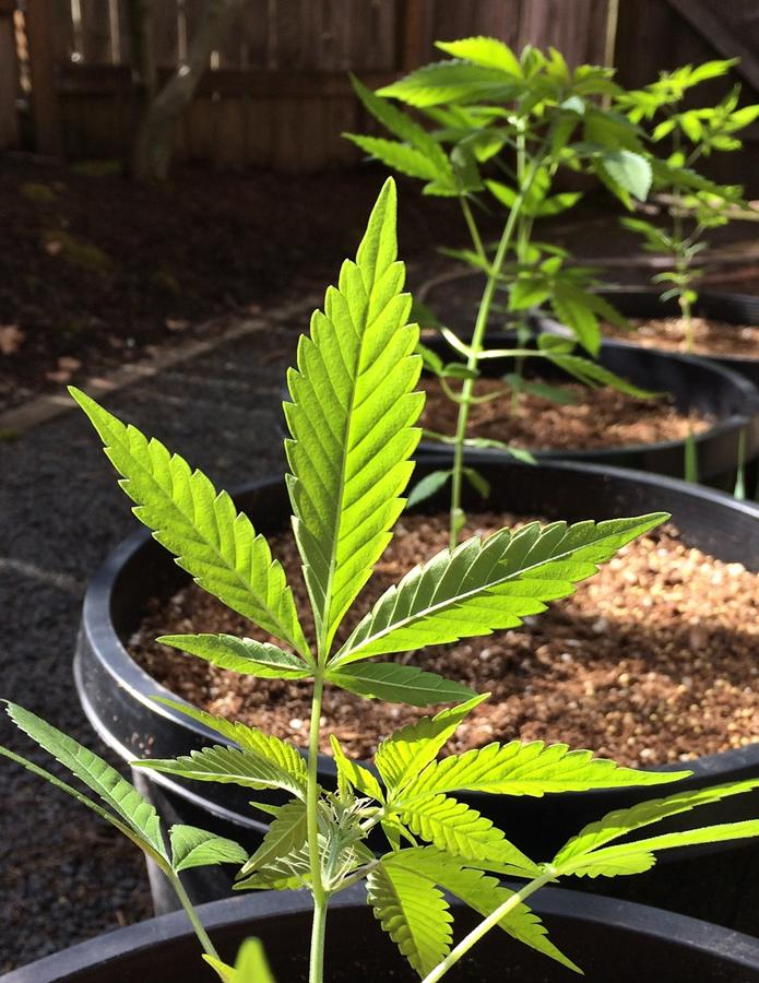 Nowoczesna lampa do marihuany zapewnia bogate plony